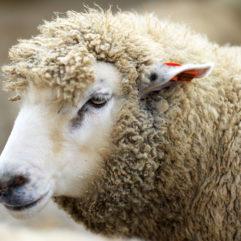 Lamb (carcass)