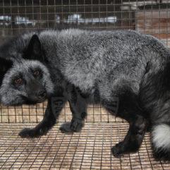 Fox (Silver-black)