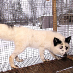 Fox (Snow)