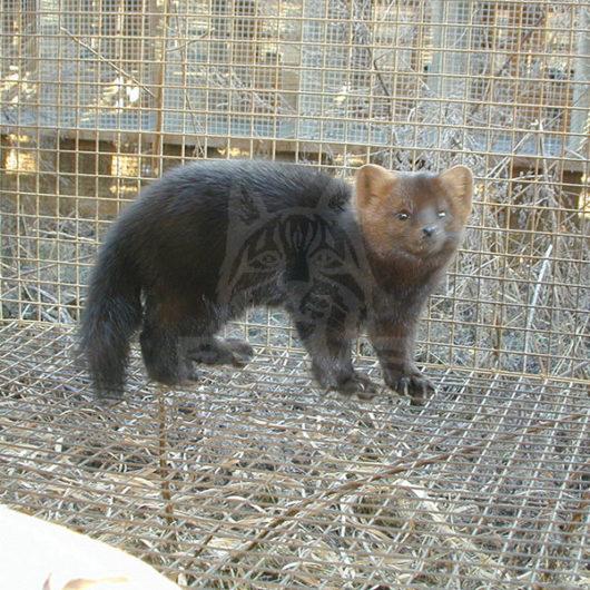 """Sable breed """"Saltykovskaya-1"""""""