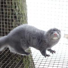 Mink (silvery-blue, velvet)